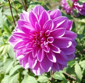 DEKORATIIVDAALIA Lilac Time