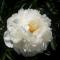 VALGEÕIELINE POJENG Gardenia