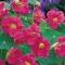 MUNGALILL Cherry Rose