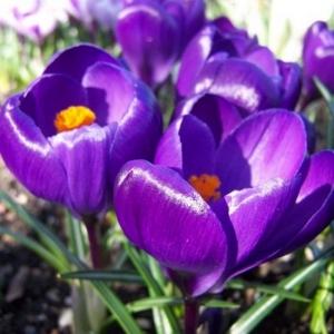 SUUREÕIELINE KROOKUS Flower Record