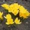 SUUREÕIELINE KROOKUS Yellow Mammouth