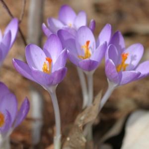 DALMAATSIA KROOKUS Barr's Purple