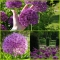 HOLLANDI LAUK Purple Sensation
